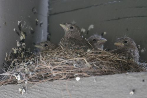 Sparrow Chicks